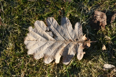 winter oak leaf